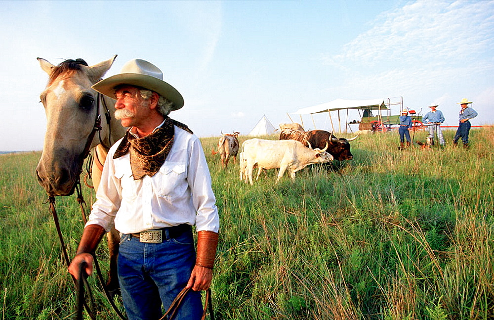 Cowboy and long horn cows herd, Fort-Worth, Texas, USA