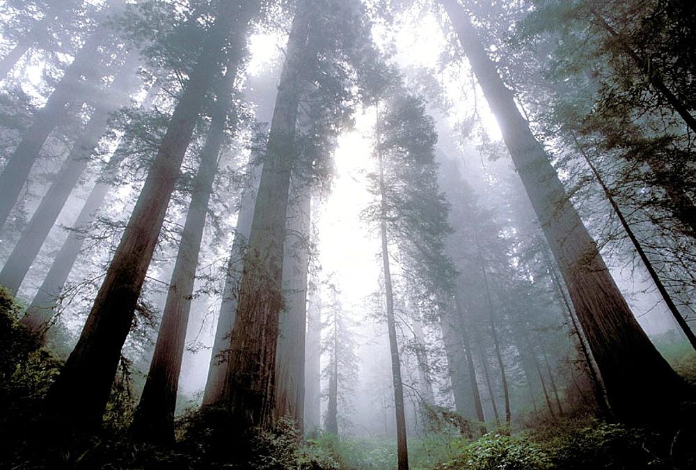 Redwoods (Sequoia sempervirens), Redwood National Park, California, USA