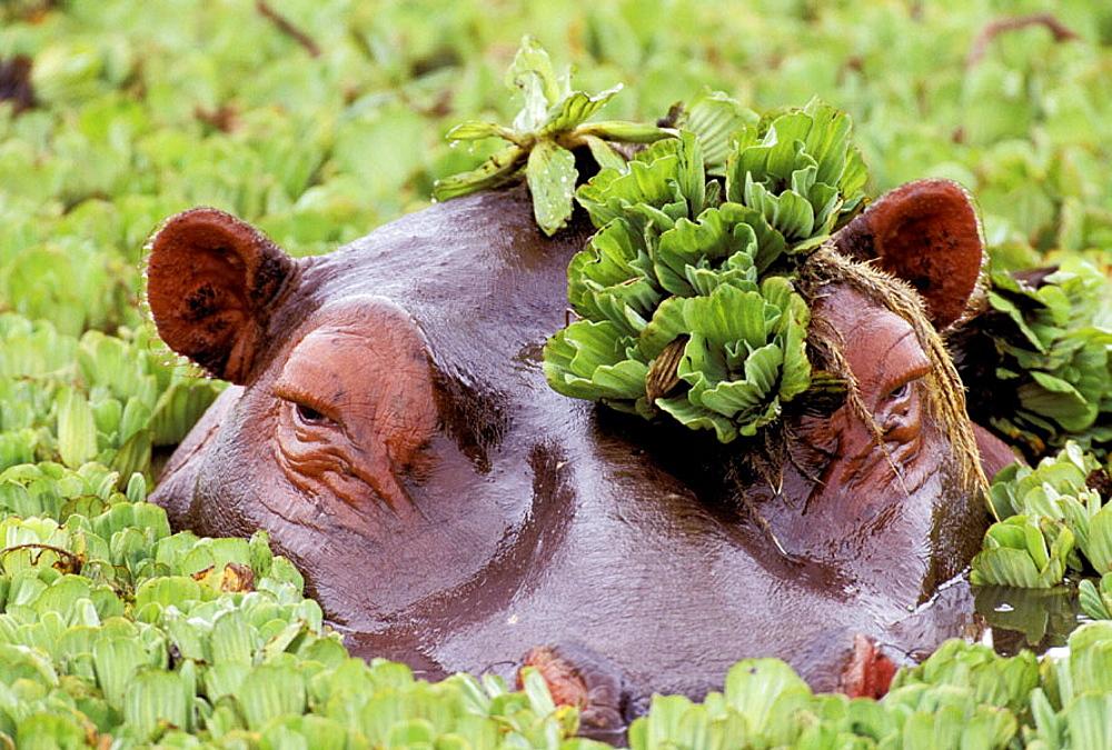 Hippopotamus with water lettuce, Masai Mara, Kenya - 817-242690