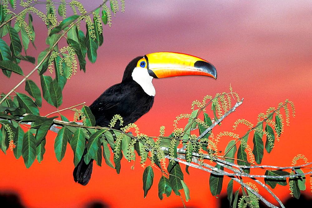 Toco Toucan (Ramphastos toco), captive, Pantanal, Brazil