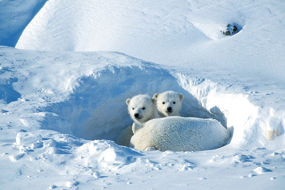 Polar bear (Ursus maritimus), female and two cubs, Cape Churchill, Manitoba, Canadian Arctic