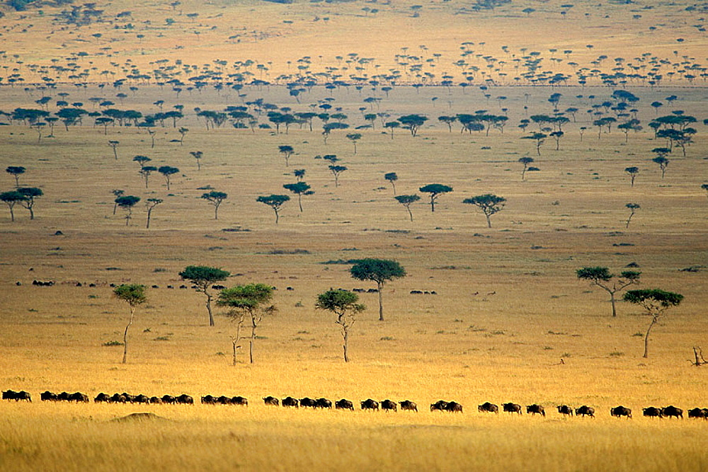 Blue Wildebeests (Connochaetes taurinus), Masai Mara Natural Reserve, Kenya - 817-242793
