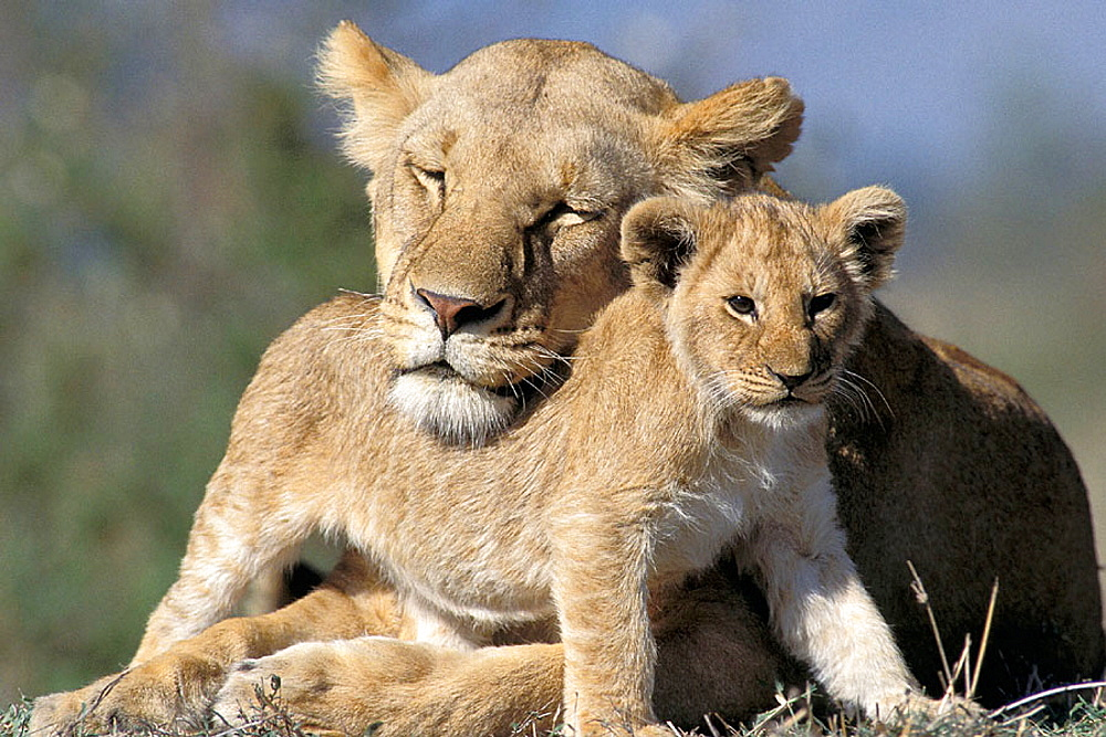 Lioness (Panthera leo) with cub, Masai Mara, Kenya