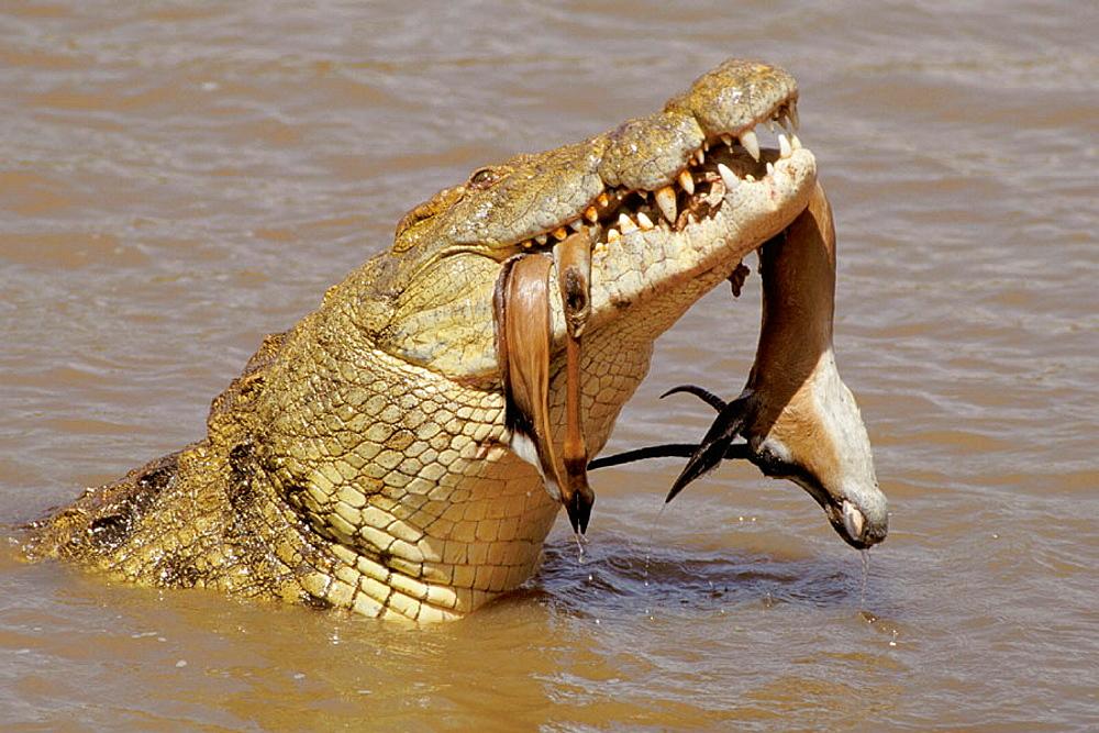 Crocodile (Crocodylus niloticus) and Grants Gazelle (Gazella granti), Masai Mara, Kenya