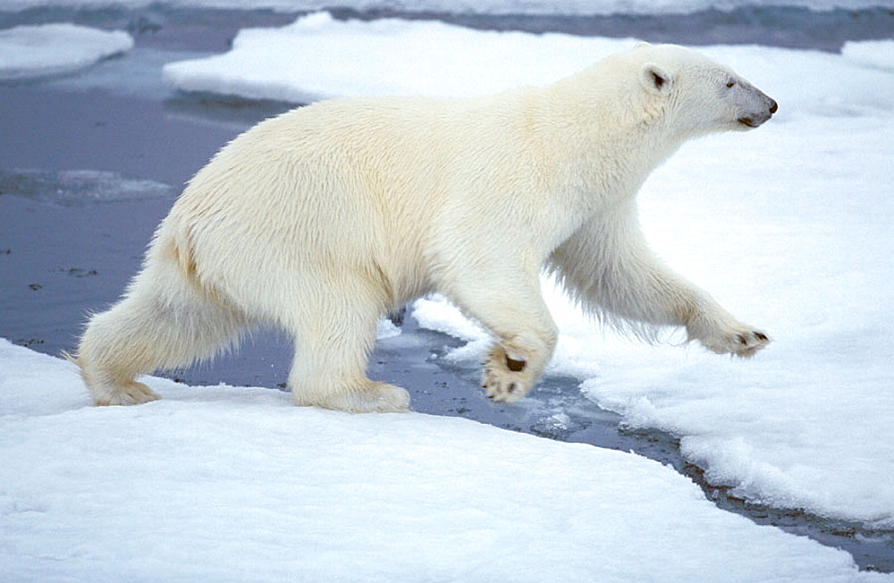 Polar Bear (Ursus maritimus) in summer, Spitzbergen, Svalbard, Norway