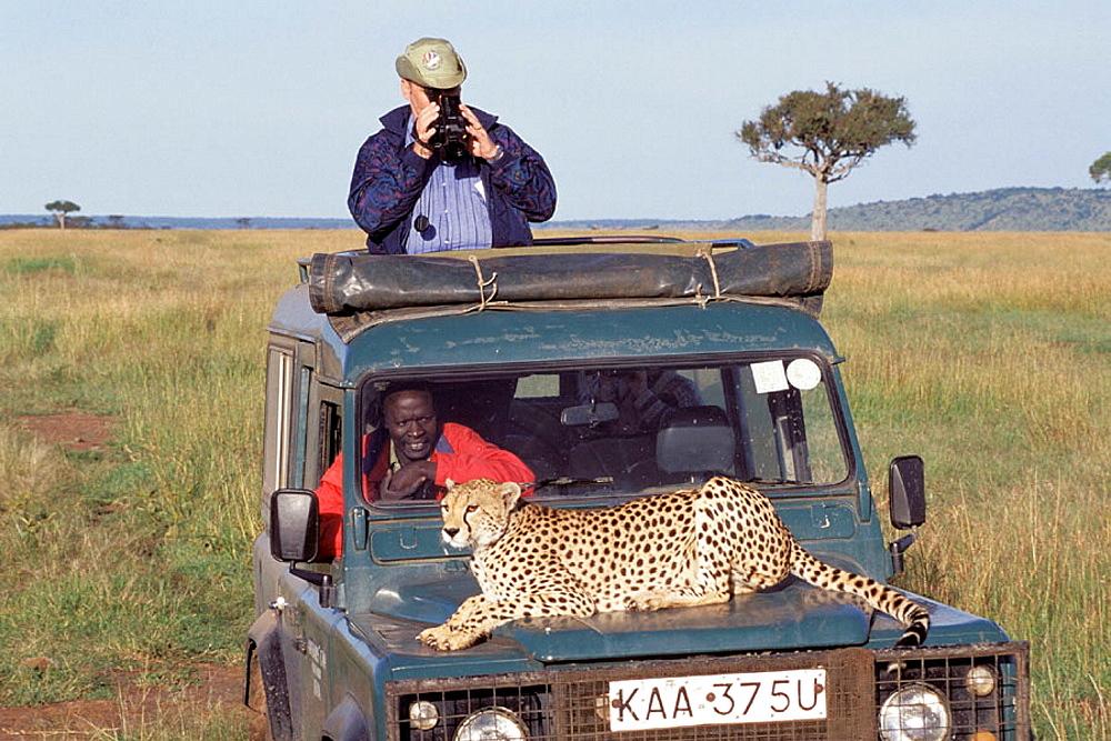 Cheetah (Acinonix jubatus), Masai Mara, Kenya - 817-242966