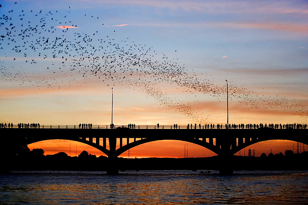 Mexican free-tailed bats (Tadarida brasiliensis), Sunset, Worlds largest urban bat colony, Congress Avenue Bridge, Austin, Texas, USA.