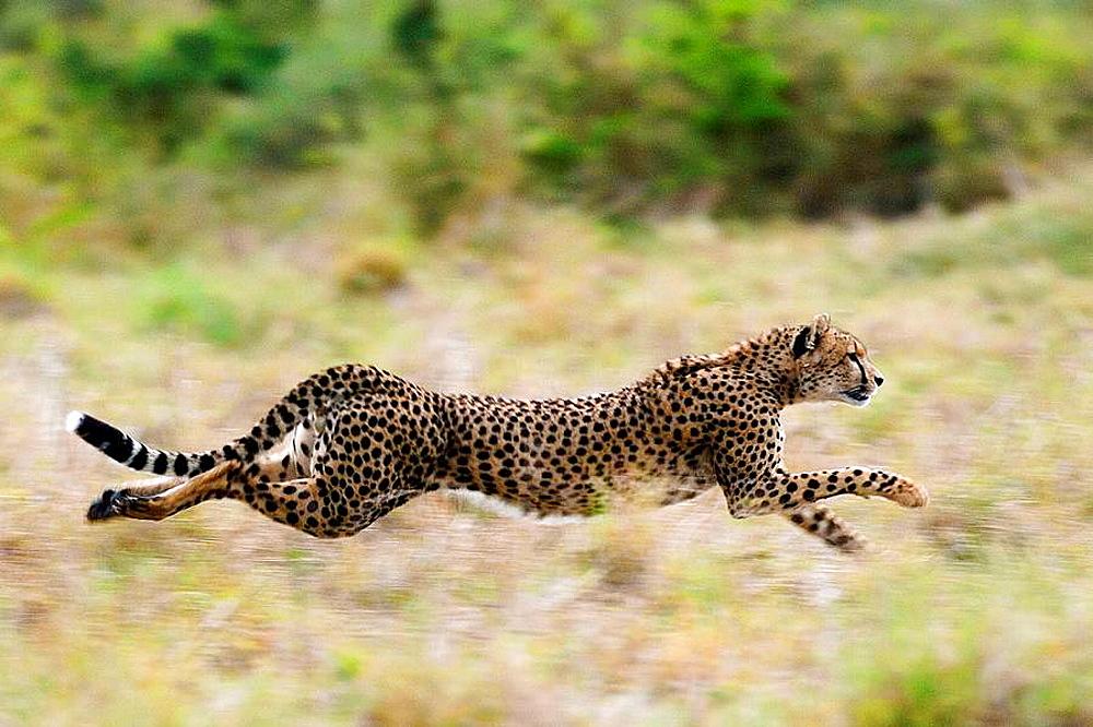 Cheetah (Acinonix jubatus), Masai Mara, Kenya - 817-243007