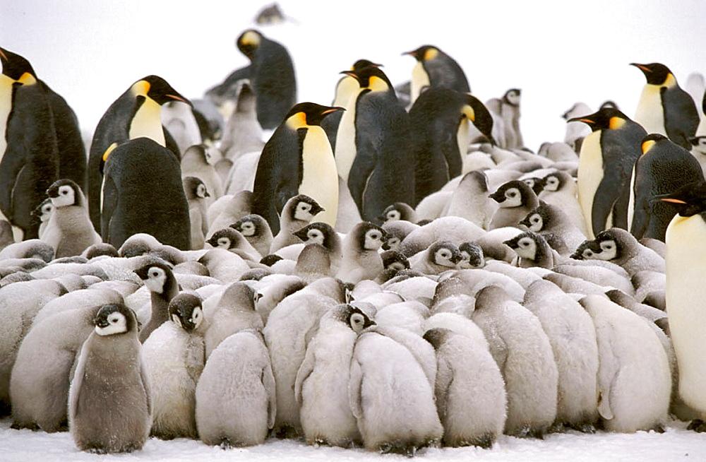 Emperor penguin (Aptenodytes forsteri), Dawson-Lambton glacier, Antarctica, December