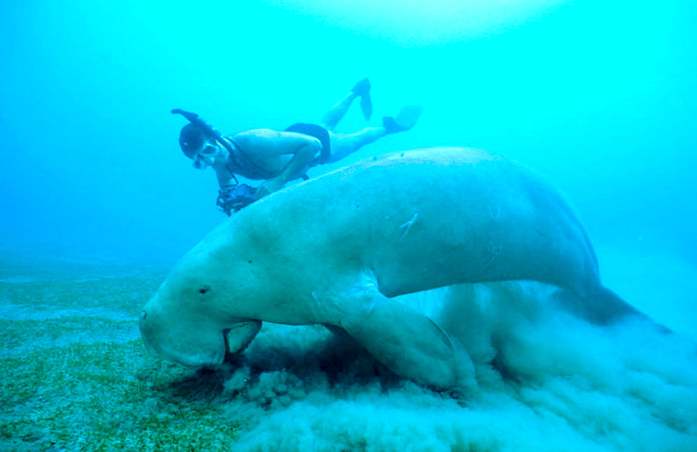 Dugong (Dugong dugon) adult male feeding on sea grass (Cymodocea serrulata), Tropical Indo Pacific from the Red Sea to Vanuatu