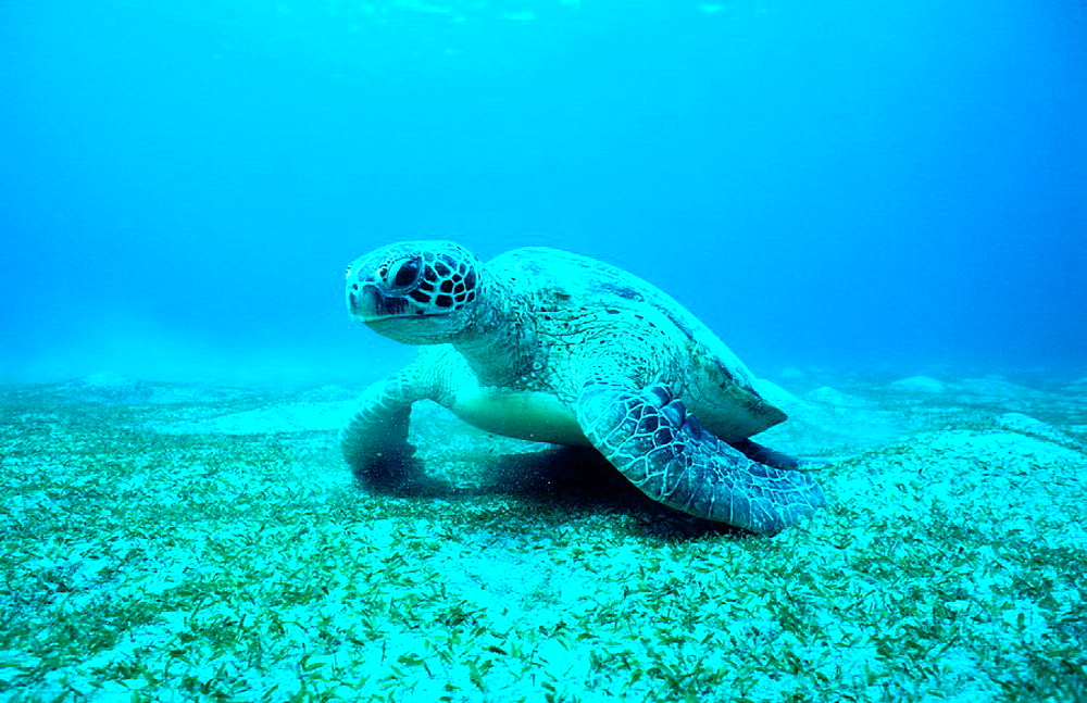 Green turtle (Chelonia mydas) adult male, Tropical Indo Pacific from the Red Sea to Vanuatu