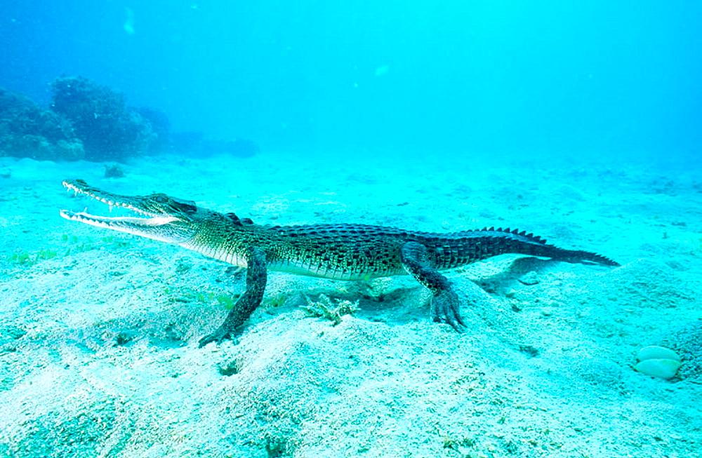 Indopacific or estuarine crocodile (Crocodylus porosus) underwater, Tropical India to Vanuatu