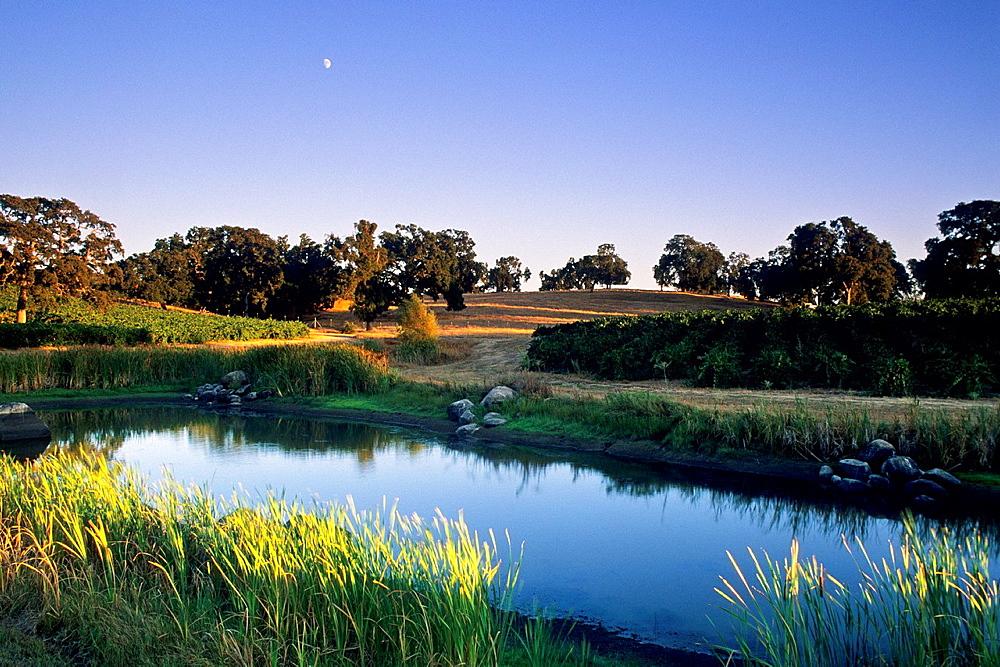 Moon over vineyards and pond, Youngs near Plymouth, Shenandoah Valley, Amador County, California