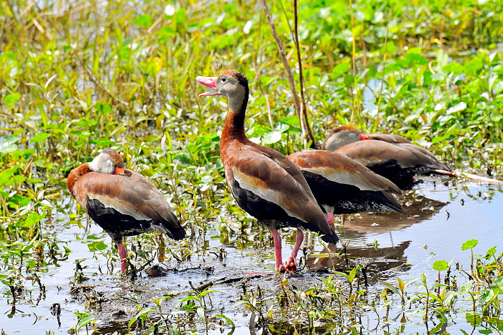 Black Bellied Whistling Duck Nature and wildlife at the Circle B Bar Nature Reserve in Lakeland Florida