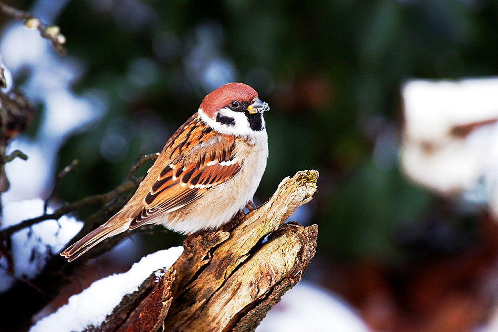 Tree Sparrow Passer montanus in winter landscape, Bavaria/Germany