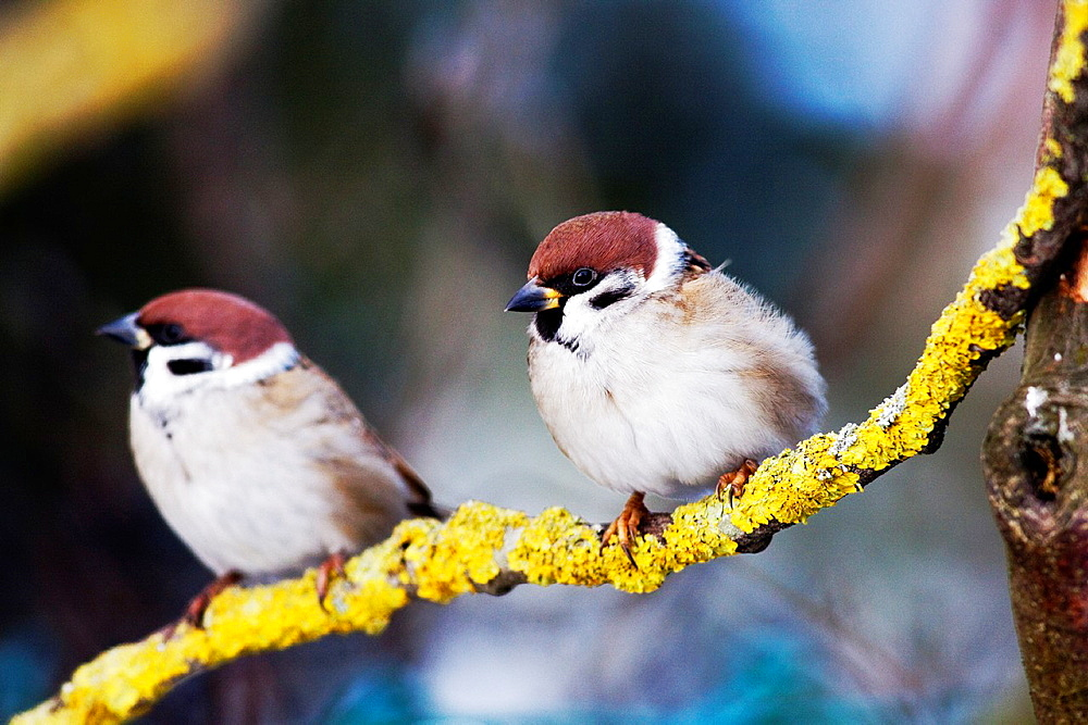 Tree Sparrows Passer montanus standing on lichen covered branch, Bavaria/Germany