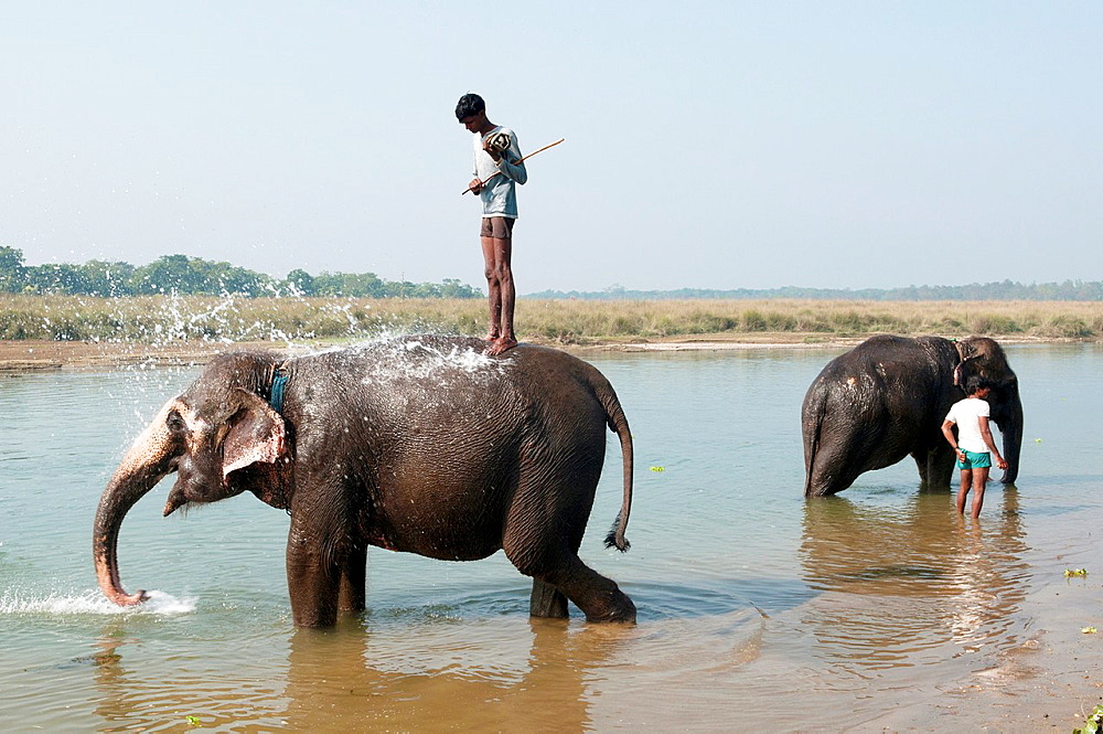 Asian elephants being washed by mahout trainers in the Rapti River in Chitwan National Park, Nepal