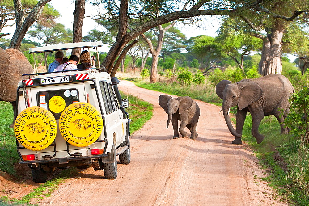 Elephants crossing the road in front of a safari vehicle - 817-254835