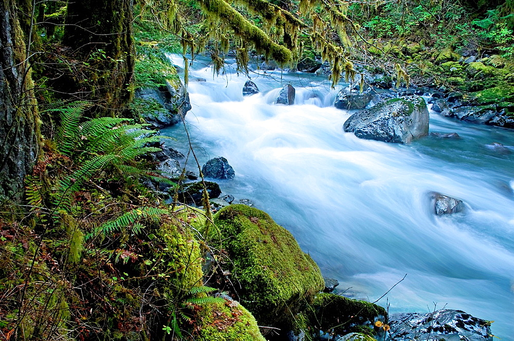 This beautiful nature image is a Pacific Northwest forest with a river running through over rocks with lots of moss hanging from trees and undergrowth ferns This is taken of the North Fork of Nooksack River in Whatcom County Washington state America