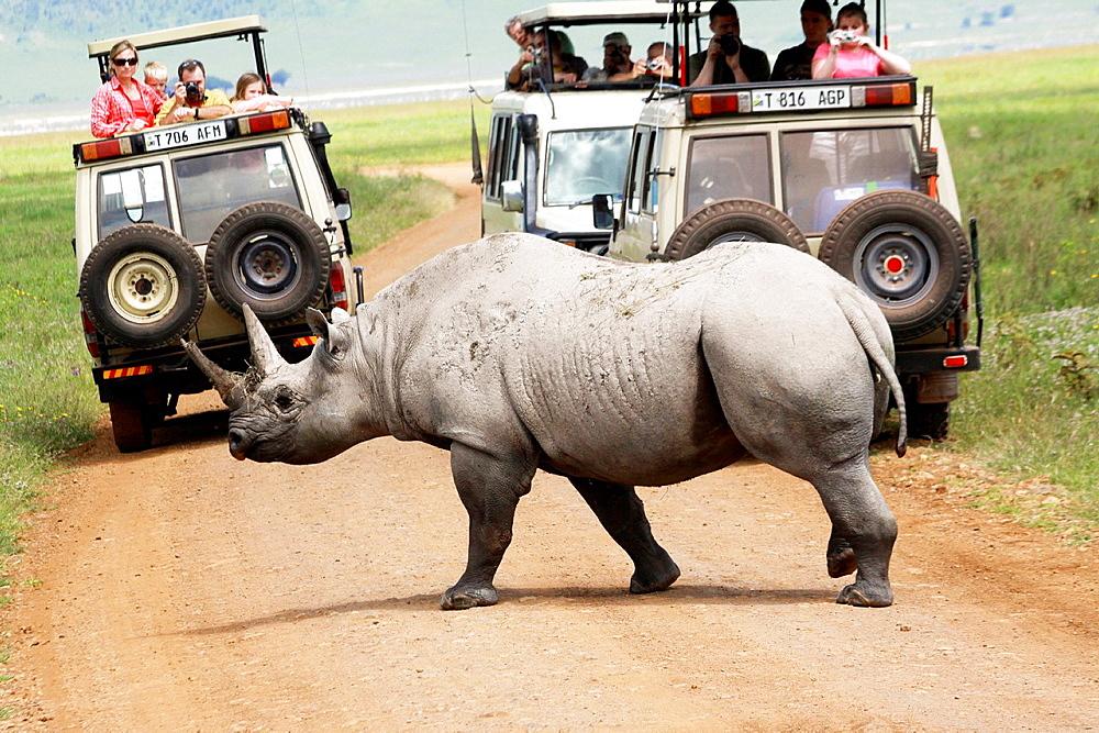 Tanzania, Tourist safari jeeps wait, as a Rhinoceros crosses the road,  - 817-258847