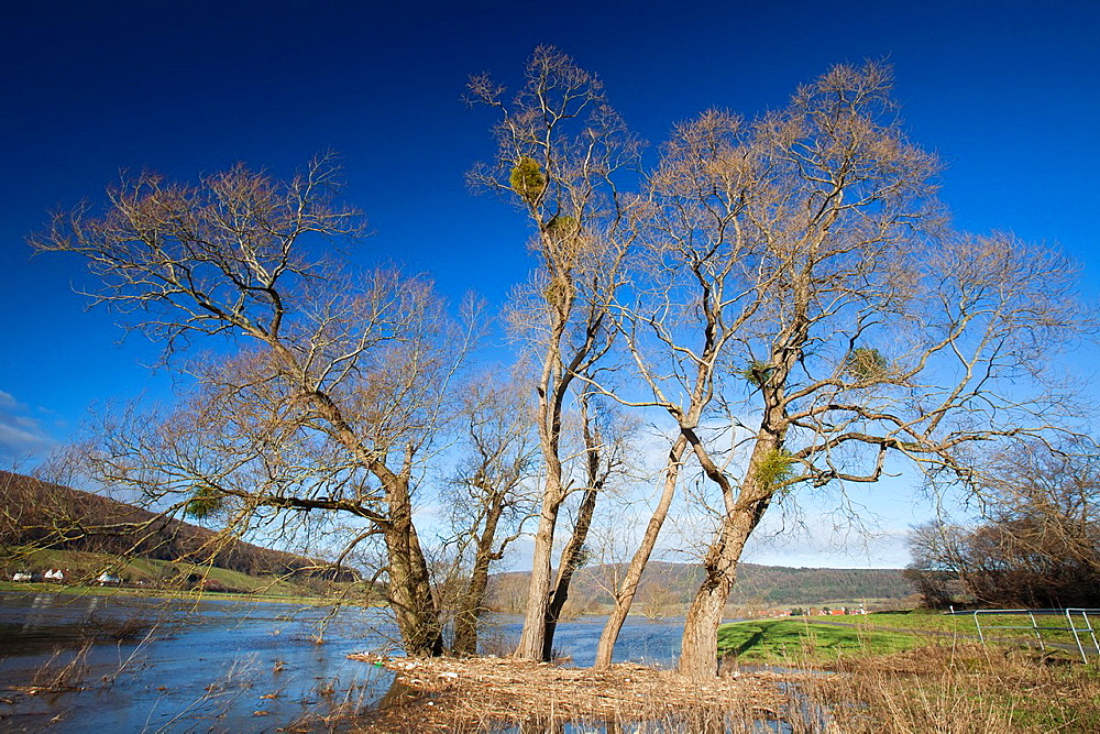 Crack Willow, Salix fagilis, trees standing in winter flood water, river Weser, Lower Saxony, Germany