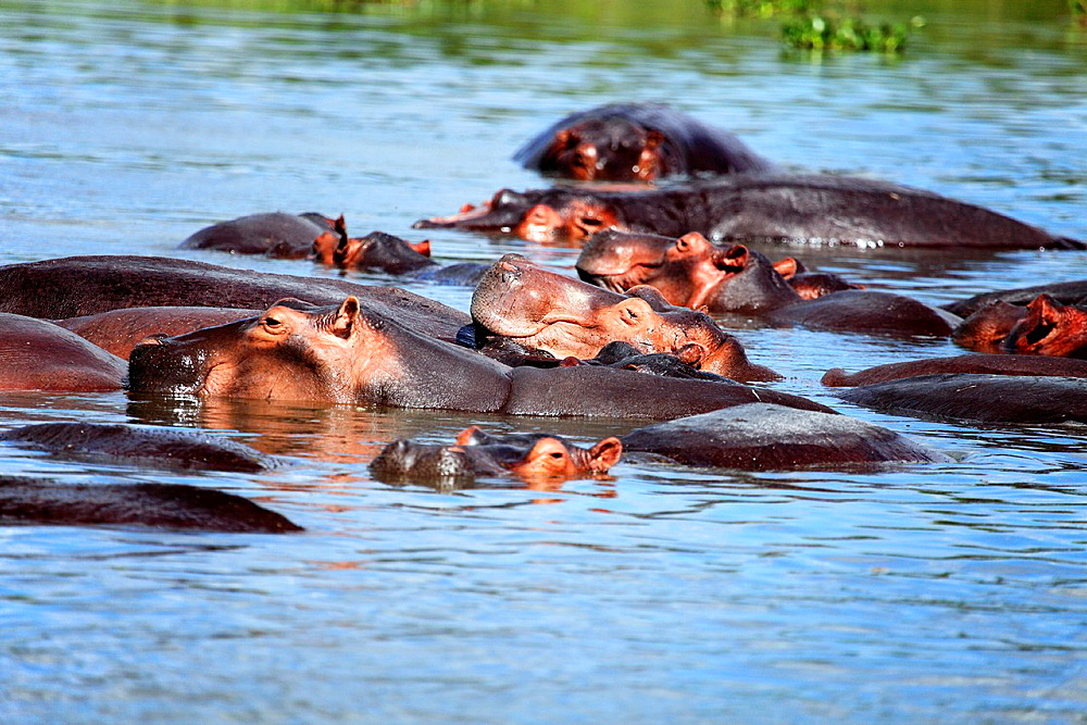 Hippo Hippopotamus amphibius, Murchison Falls national park, Uganda, East Africa