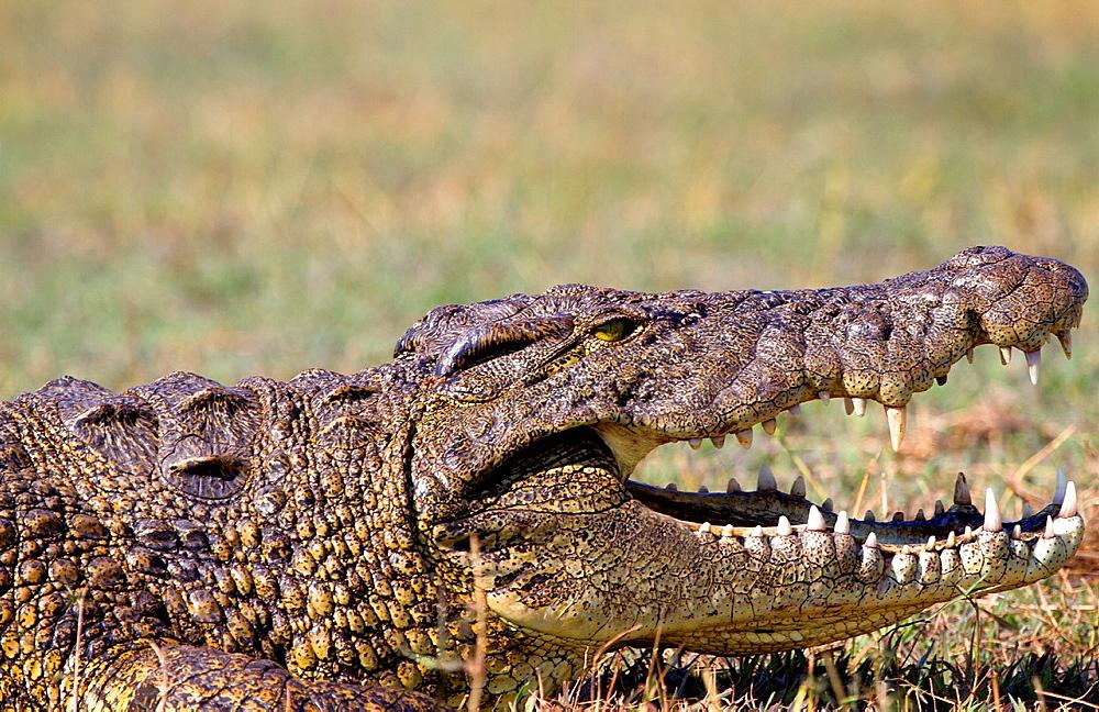 Nile crocodile Crocodylus niloticus, Chobe river, Chobe National Park, Botswana