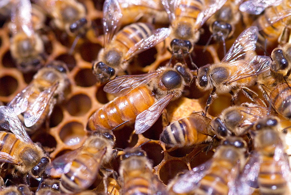 Unmarked queen honeybee Apis mellifera tended by workers