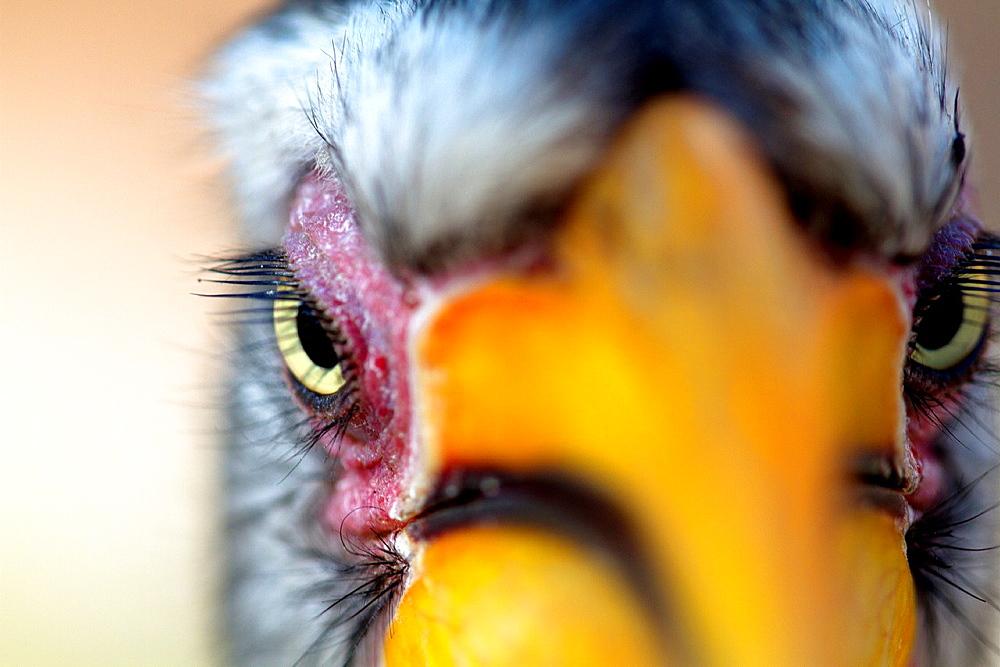 Yellowbillled Hornbill Tockus flavirostris, Mabuasehube, Kalahari desert, Botswana - 817-264780