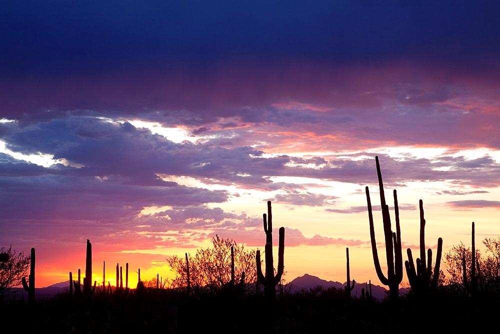 Giant Saguaros Carnegiea gigantea, Saguaro National Park Western section, Sonora Desert, Arizona, Tucson, USA