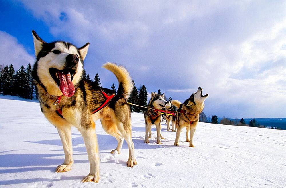 Husky sleigh dogs, Les Fourgs, Doubs, Franche-Comte, France
