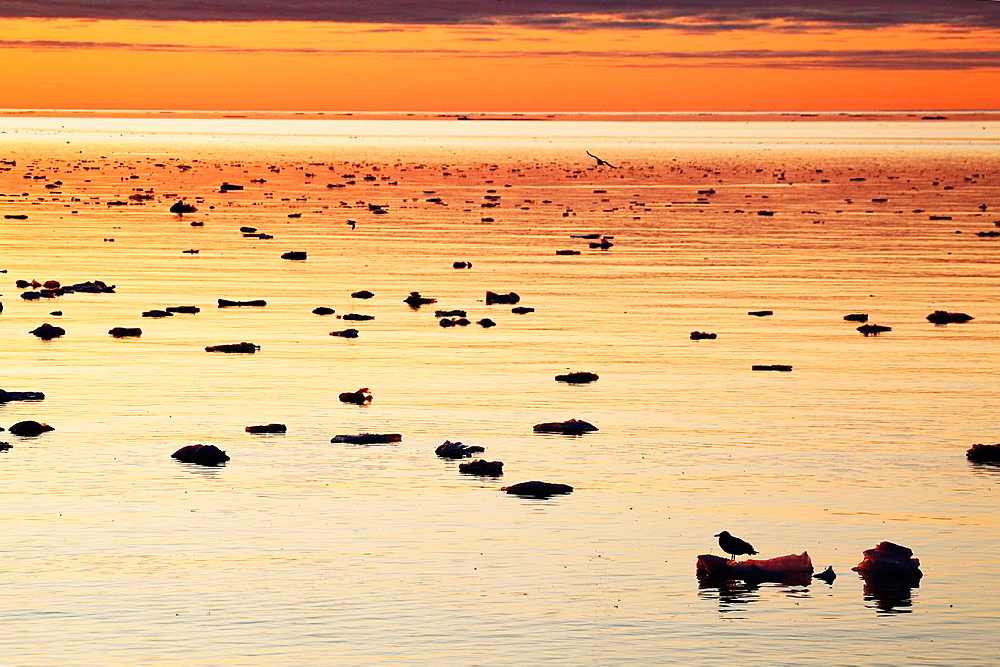 arctic landscape with ice floes in Arctic Ocean with Glaucous Gull Larus hyperboreus in sunset light, Spitsbergen, Svalbard