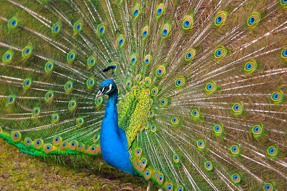 Indian Peacock with tail feathers up