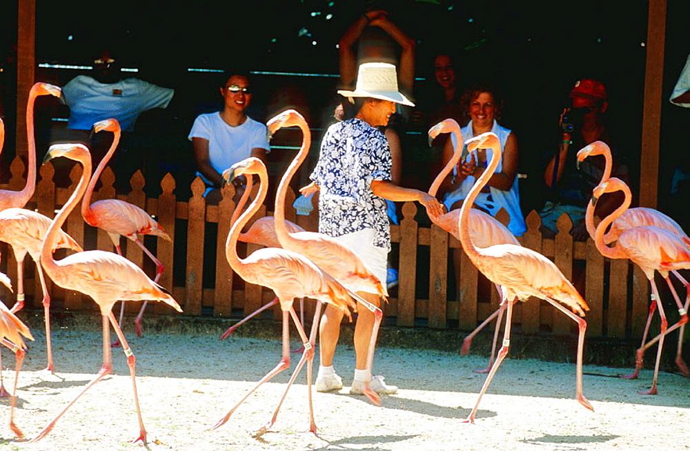 Flamingos at zoological gardens, Nassau, New Providence Island, Bahamas, Caribbean