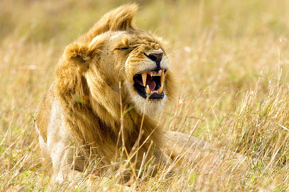 Male lion yawning, Masai Mara National Reserve, Kenya