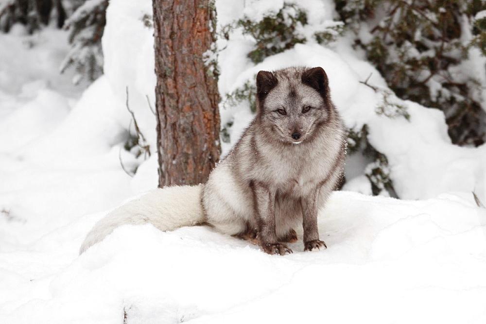 Arctic fox Jamtland Sweden.