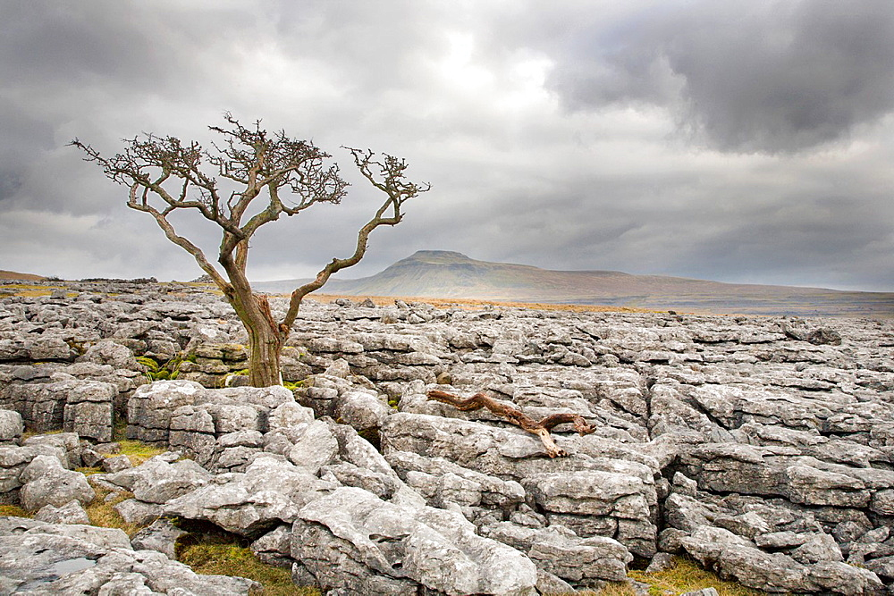 Lone Tree and Ingleborough from Twistleton Scar Yorkshire England