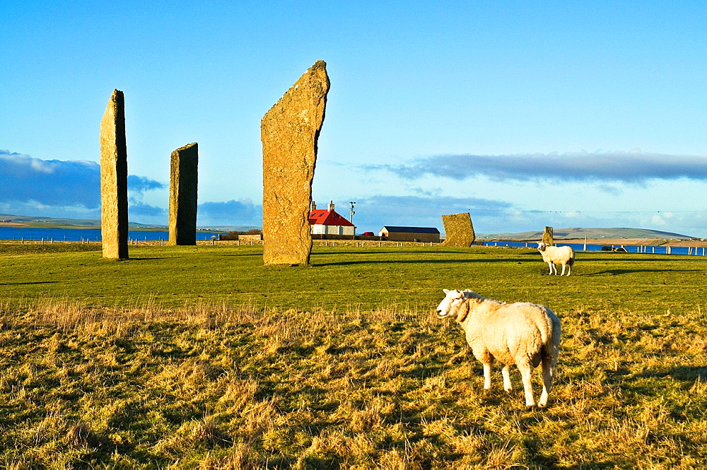 Sheep FARMING ORKNEY Rams in field Standing stones of Stenness