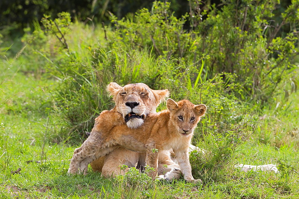 Lions Panthera leo, mother with cub, Masai Mara National Reserve, Kenya