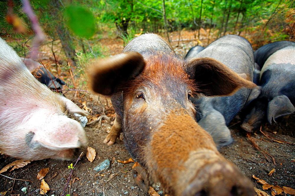 Porks, Village of Evisa, Corsica Island France