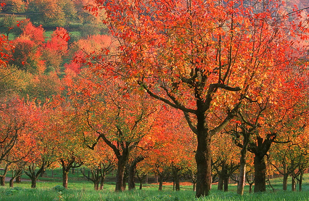 cherry_orchard, cherry, fruittree, landscape, symbol, tree, cherry_tree, autumn, red, leaves, color, daytime, outdoor, . cherry_orchard, cherry, fruittree, landscape, symbol, tree, cherry_tree, autumn, red, leaves, color, daytime, outdoor,