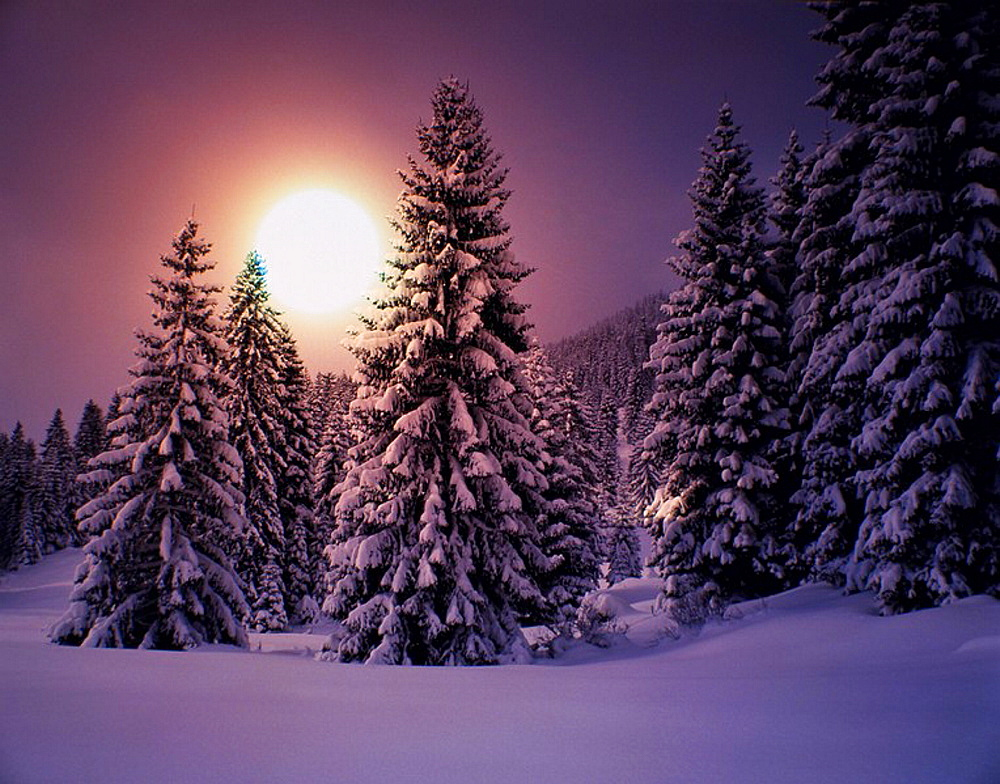 winter, scenery, landscape, winter scenery, trees, wood, forest, snow, coniferous forest, fir wood, conifers, sundown, . winter, scenery, landscape, winter scenery, trees, wood, forest, snow, coniferous forest, fir wood, conifers, sundown,  - 817-297740