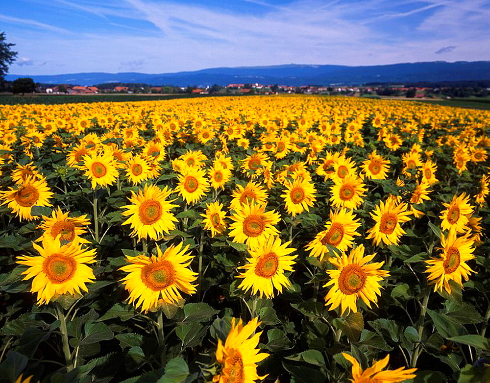 Switzerland, Europe, Tauffelen, Canton Berne, Sunflowers, Sunflower, Field, Fields, Landscape, Agriculture. Switzerland, Europe, Tauffelen, Canton Berne, Sunflowers, Sunflower, Field, Fields, Landscape, Agriculture