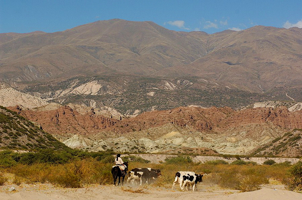 Argentina, South America, Gaucho, San Jose, Catamarca, South America, horse, rider, cows, cattle, landscape, desert, m. Argentina, South America, Gaucho, San Jose, Catamarca, South America, horse, rider, cows, cattle, landscape, desert, m