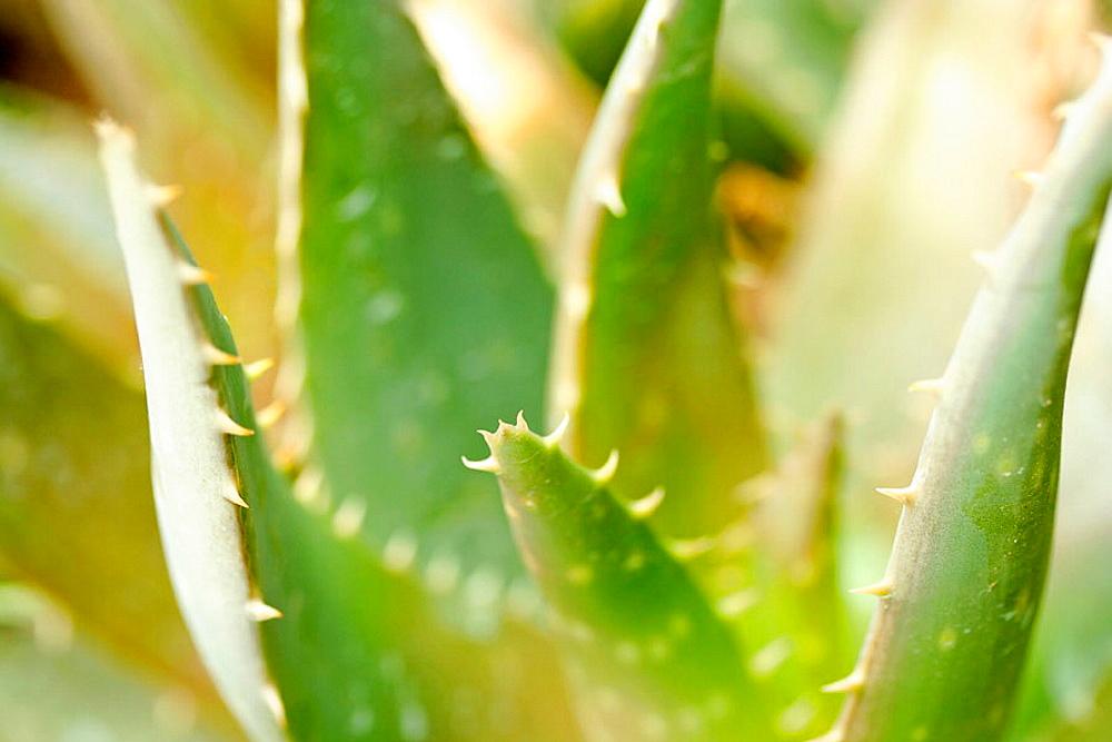 Aloe (Aloe sp.).
