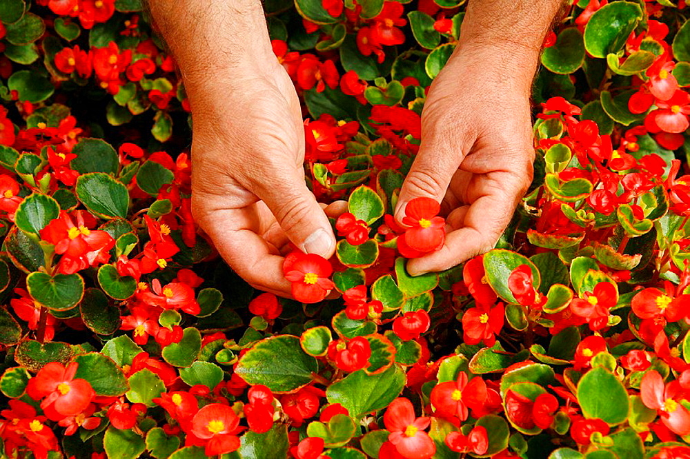 Picking edible flowers for restaurants, Balaguer, Lleida, Catalonia, Spain