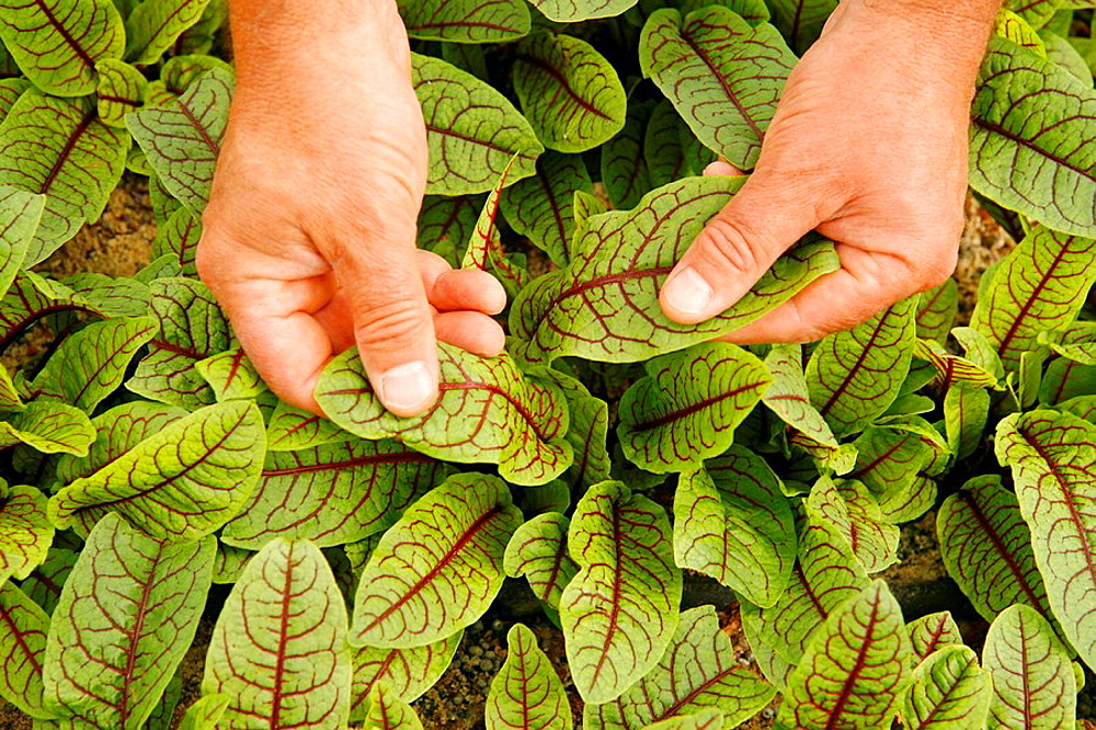 Picking sorrel leaves for restaurants, Balaguer, Lleida, Catalonia, Spain