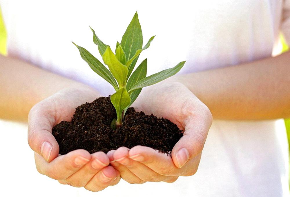 Planting soapwort (saponaria officinalis.)