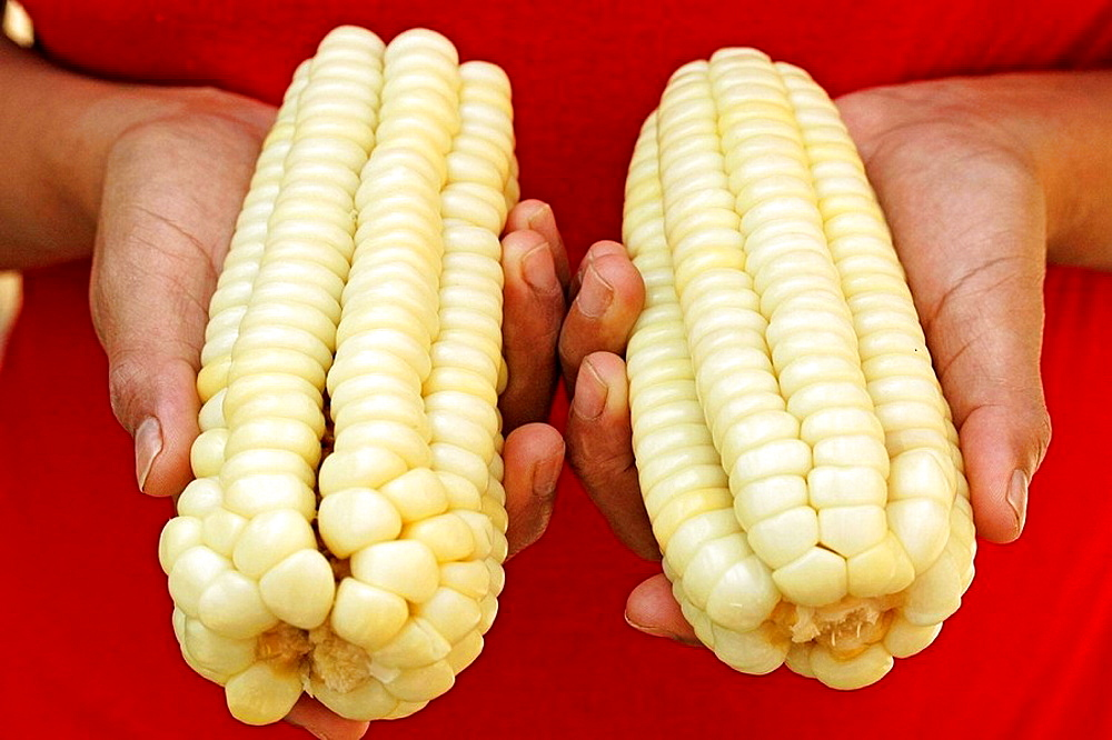 White Peruvian 'choclo' from Cuzco, Typical variety from Peru (Zea mays)