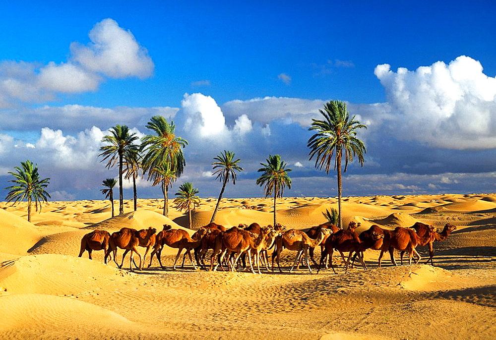 Tunisia, December 2008, Sahara, at Douz city, Came. Tunisia, December 2008, Sahara, at Douz city, Came
